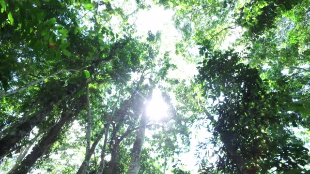 sf_running looking up at canopy_osmo.mov - tambopata stock videos and b-roll footage