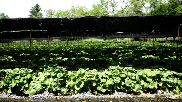 shade netting protects wasabi plants from the summer sun at daio wasabi farm on may 24 2018 in azumino japan operating since 1923 in azumino one of... - wasabi stock videos and b-roll footage