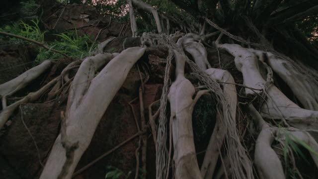 vidéos et rushes de ds shaded banyan tree roots growing along rock cliff face / oahu, hawaii, united states - rock face