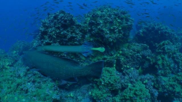 """shadow hunting, the trumpetfish uses grouper fish as a """"hunting blind"""" - trumpet fish stock videos & royalty-free footage"""
