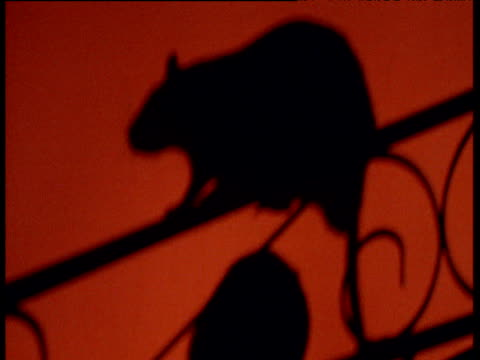Shadow of black rat on railing projected onto wall of Hindu temple, Deshnok, India