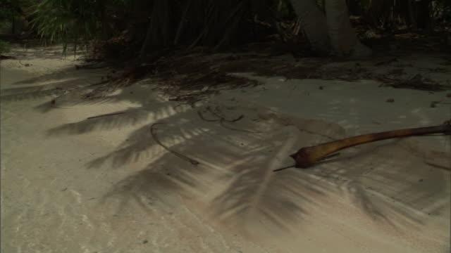 Shadow of Coconut palm (Cocos nucifera) fronds on beach, Fakarava Atoll, French Polynesia