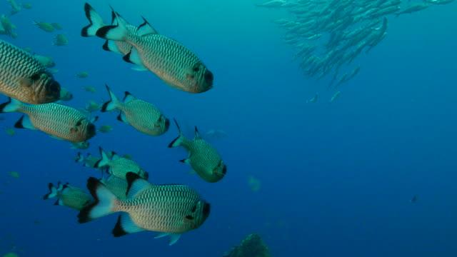 シマアジ アジ shadowfin soldierfish マンタ - イットウダイ点の映像素材/bロール