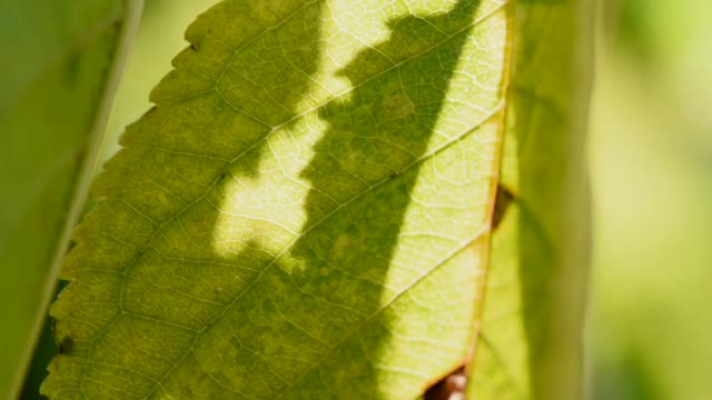 shadows fighting on cherry tree leaves. - leaf vein stock videos and b-roll footage