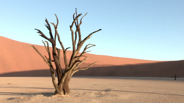 Shadows move across a dead acacia tree in the Namib Desert.