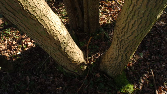t/l shadows moving across ash (fraxinus sp.) coppice stool, woodland, uk - ash tree stock videos & royalty-free footage