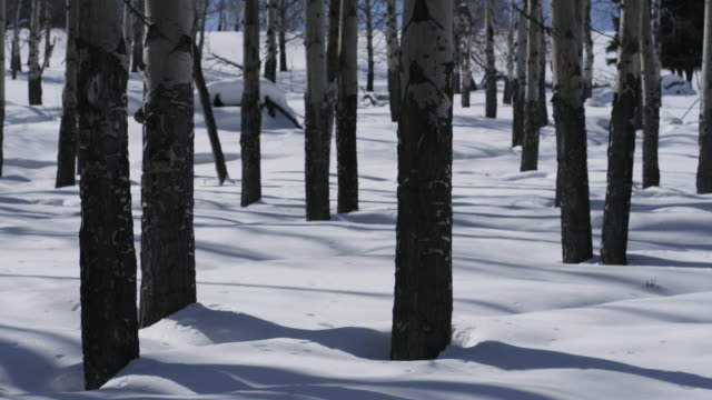 Shadows of birch trees move over snow.