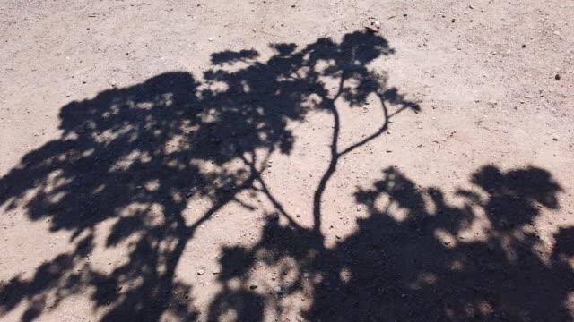 skuggor av tunna träd som svajande i vinden på sandgolvet - tallträd bildbanksvideor och videomaterial från bakom kulisserna