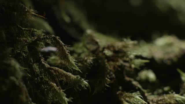 shadows pass over an unusual 'furry' plant on a nothofagus forest floor, new south wales, australia. - fern stock videos & royalty-free footage