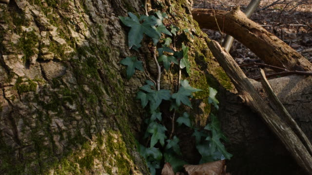 t/l shadows pass over ivy (hedera helix) on tree trunk, uk woodland - plant bark stock videos and b-roll footage