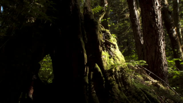 stockvideo's en b-roll-footage met shadows pass over moss covered tree trunks. - canada