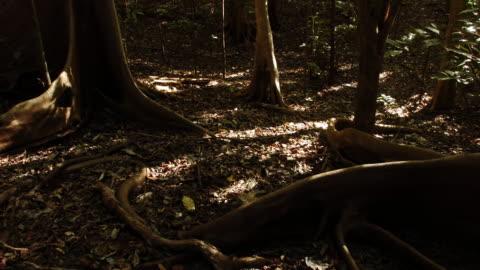 vídeos y material grabado en eventos de stock de tl shadows shift over buttress tree roots, sulawesi - sombra