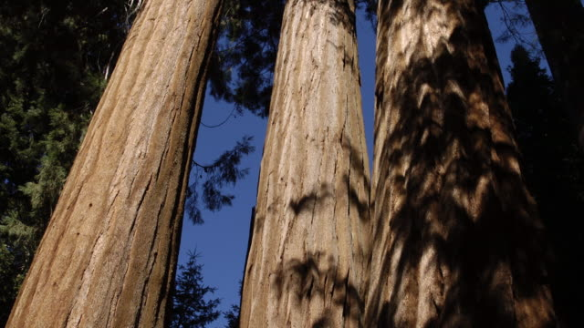 tl shadows shift over coast redwood trees, california, usa - sequoia sempervirens stock videos and b-roll footage