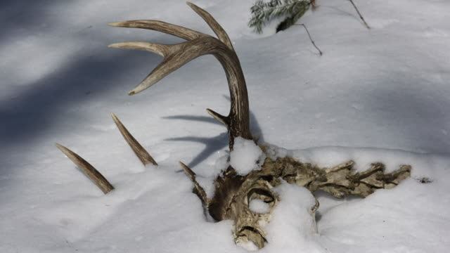 tl shadows shift over deer skeleton in snow, minnesota, usa - kälte stock-videos und b-roll-filmmaterial