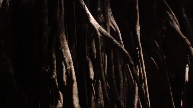 "tl shadows shift over strangler fig roots, sulawesi - ""bbc natural history"" video stock e b–roll"