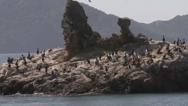 shag birds on rocky island in the marlborough sounds - cormorant stock videos & royalty-free footage