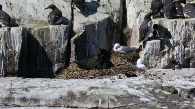 a shag; phalacrocorax aristotelis, nesting on the farne islands, northumberland, uk with kittiwakes and common guillemots. - farne islands stock videos & royalty-free footage