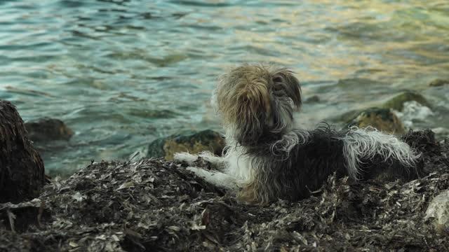 shaggy dog playing on the seashore on posidonia oceanica algae - sea grass plant stock videos & royalty-free footage