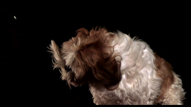 a shaggy dog shakes its head in slow motion in a swirl of long fur. - shaking stock videos & royalty-free footage