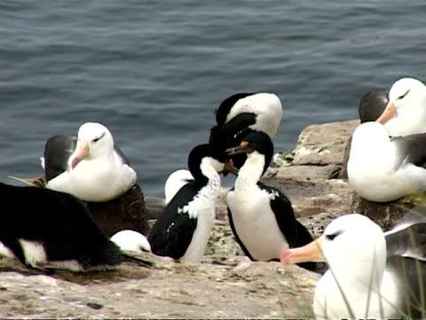 ms 2 shags mutual grooming, group of albatross with 3 imperial shags resting on coastal rocks, sea water background, falkland islands - 大西洋諸島点の映像素材/bロール