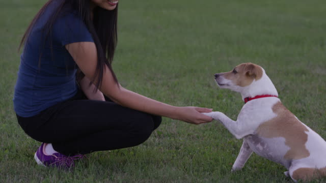 shaking a paw - jack russell terrier stock videos & royalty-free footage