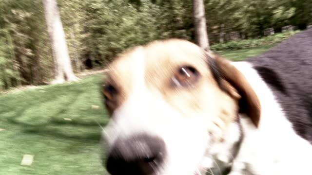 shaky close up camera following beagle in park/ dallas, texas - beagle stock videos & royalty-free footage