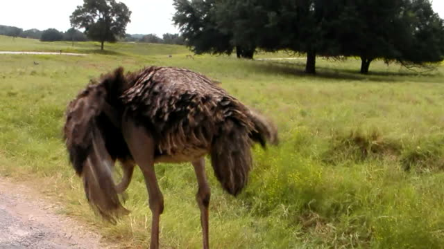 shaky ostrich - 2008 stock videos and b-roll footage