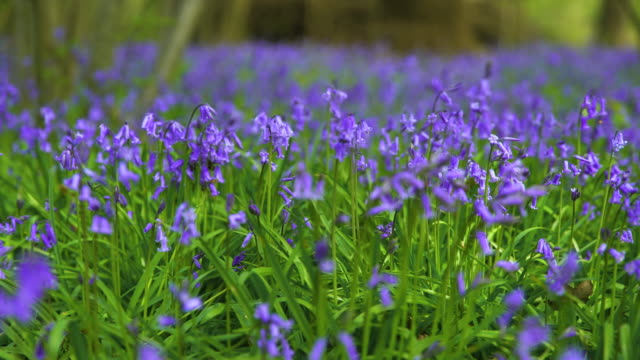 shallow depth of field shot of bluebells in bloom - springtime stock videos & royalty-free footage