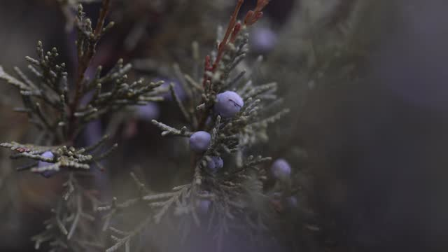 shallow focus on berries in pine branches in winter - slow stock videos & royalty-free footage