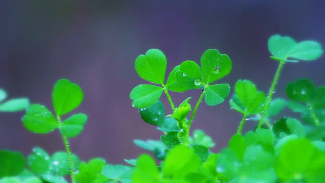 shamrock - st. patrick's day stock videos & royalty-free footage