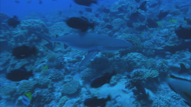 slo mo ws zi ms shark and group of fish swimming around coral reef / moorea, tahiti, french polynesia - moorea stock videos and b-roll footage