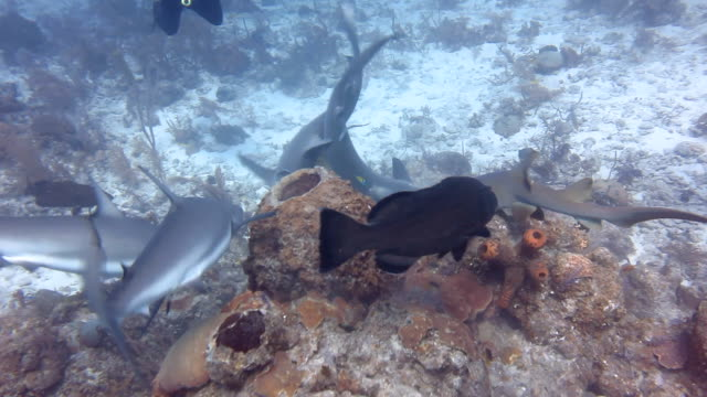 shark dive chaos - caribbean reef shark stock videos and b-roll footage