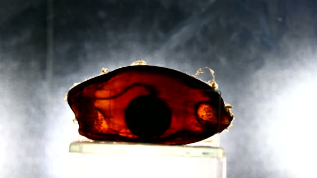 shark embryos - dogfish stock videos & royalty-free footage
