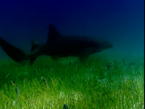 a shark glides above a school of fish that rises out of grasses on a shallow, sandy seabed. - shallow stock videos & royalty-free footage