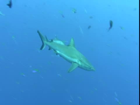 a shark glides past schools of smaller fish. - 背びれ点の映像素材/bロール