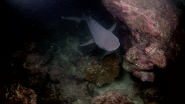shark in the night - whitetip reef shark stock videos and b-roll footage