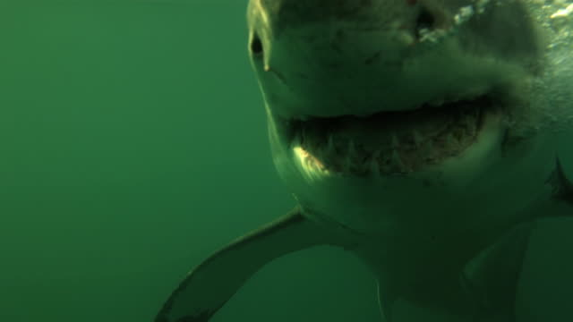 shark lunging and swimming underwater - hai stock-videos und b-roll-filmmaterial