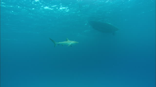 shark on fishing line, boat above, underwater, Bahamas
