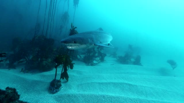 shark, seven gill or cow shark ,south africa - kelp stock videos & royalty-free footage