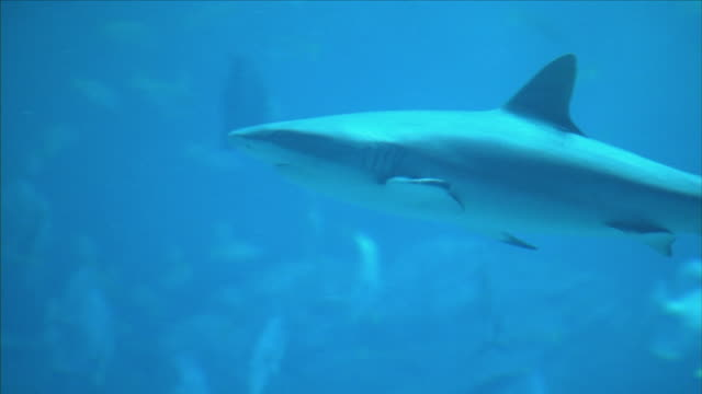 shark swimming in a giant aquarium - aquatisches lebewesen stock-videos und b-roll-filmmaterial