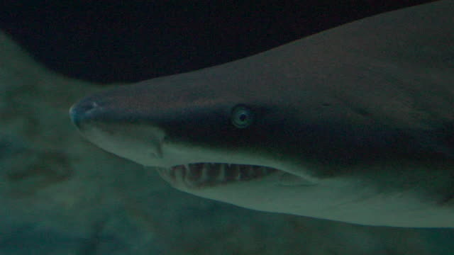 CU, Shark (superorder Selachimorpha) swimming in aquarium