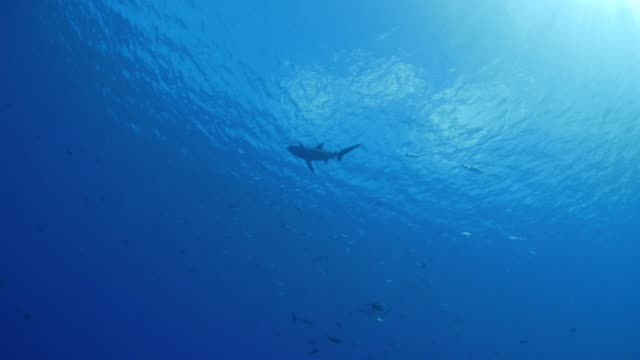 shark swimming undersea - oahu stock videos & royalty-free footage