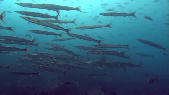 a shark swims behind a shoal of barracudas. available in hd. - barracuda stock videos & royalty-free footage