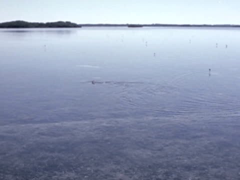shark swims through a tidal flat as its dorsal fin sticks out of the water. - dorsal fin stock videos & royalty-free footage