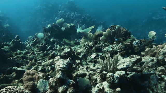 """shark swims through coral reef, beautiful tracking shot"" - weißspitzen hochseehai stock-videos und b-roll-filmmaterial"