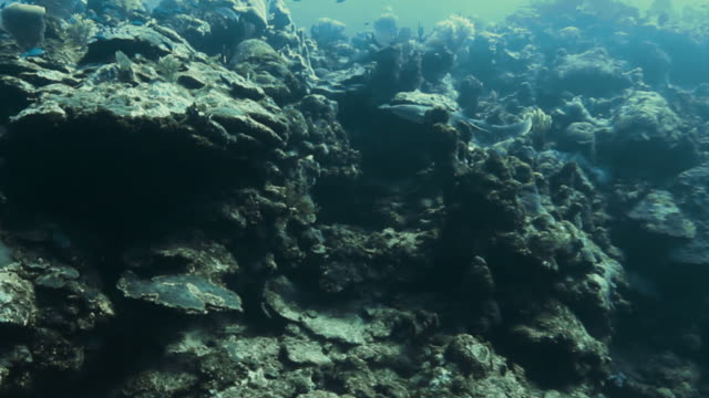 shark swims up through rock and coral towards the surface of the sea - oceanic white tip shark stock videos & royalty-free footage