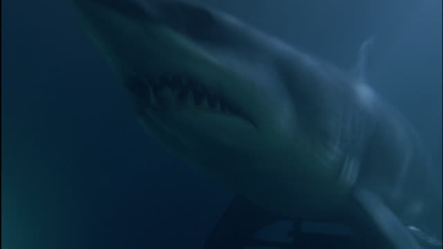 vídeos de stock, filmes e b-roll de cu shark underwater, opening mouth (shark is mechanical) - dente animal