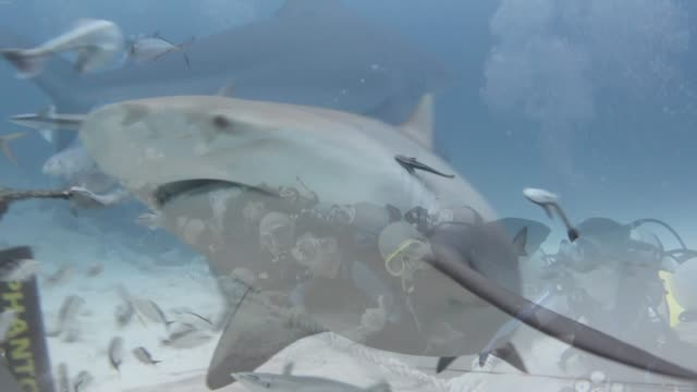 sharks are the most feared creatures in the ocean. most people fear that even swimming in waters where sharks are known to inhabit, will result in... - bucket list stock videos & royalty-free footage
