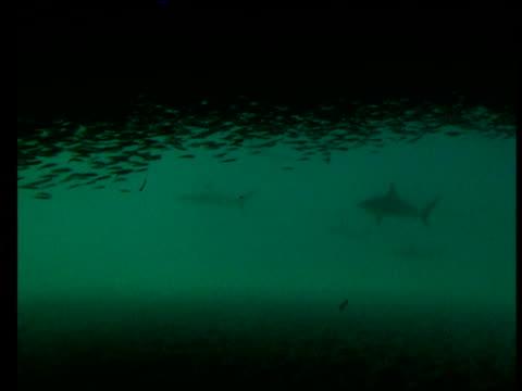 Sharks corral bait balling sardines, Western Australia