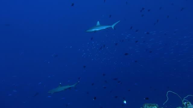 サメクルーズサンゴ礁の水中、パラオ(2 x クリップ) - ネムリフカ点の映像素材/bロール